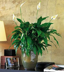 Peace lily - large from Bunn Flowers & Gifts, local florist in Pittsburg, TX