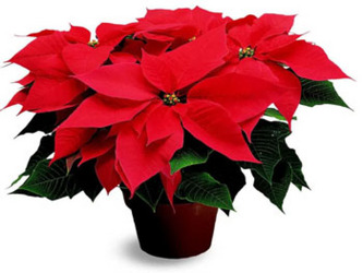 Red Poinsettia from Bunn Flowers & Gifts, local florist in Pittsburg, TX